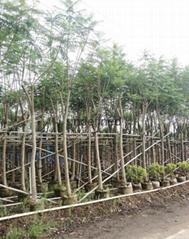 藍花楹樹價格