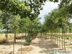 五角楓樹苗價格
