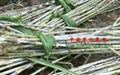 新型皇竹草种节批发 1