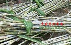 新型皇竹草種節批發