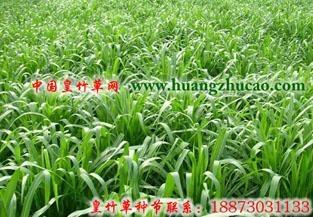 新型皇竹草种节批发 2