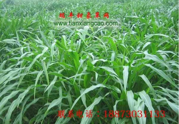 台湾甜象草种节批发 1