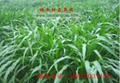 台湾甜象草种节批发