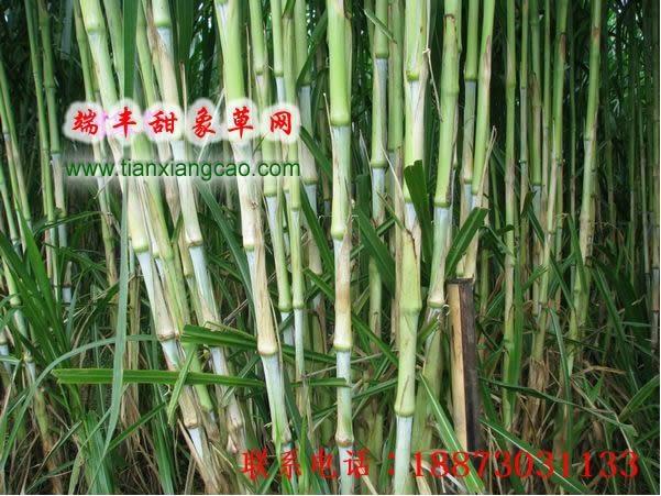 台湾甜象草种节批发 3