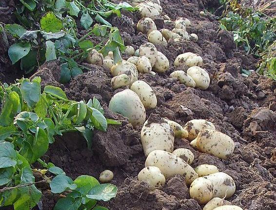 Export Fresh Potatoes 3