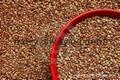 Buckwheat of China 1