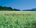 Buckwheat of China 2