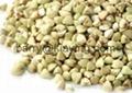 Green buckwheat 3