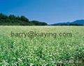 Green buckwheat 2