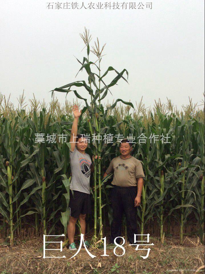 青贮玉米种巨人18 2