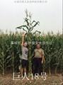 青貯玉米種巨人18 2