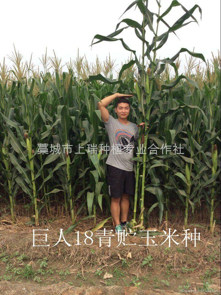 青贮玉米种巨人18 4