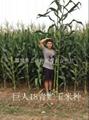 青貯玉米種巨人18 4