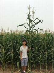 青贮玉米种子铁人青贮808