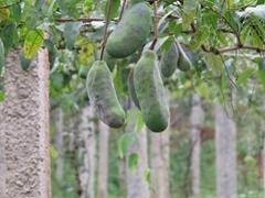 绿生园供应大量新鲜八月瓜