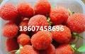 掌叶红树莓特等种苗供应