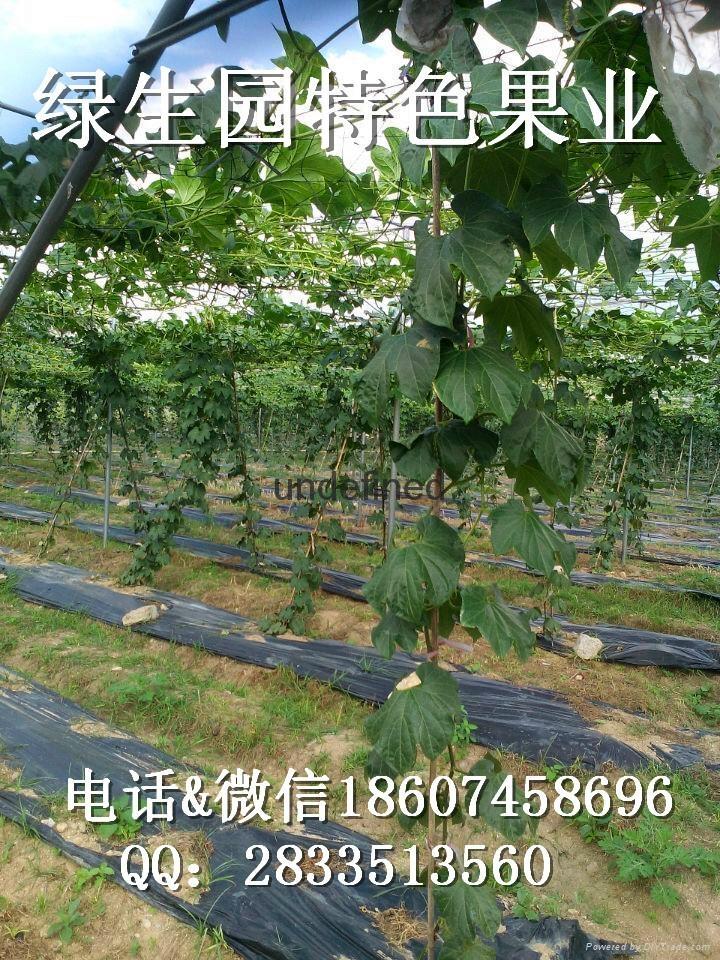 新型水果香如蜜种子 4
