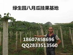 八月瓜  高产苗木