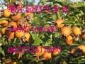 无核金刺梨果 3