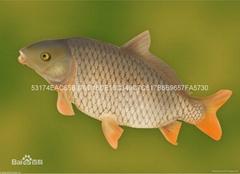 供應垂釣大鯉魚