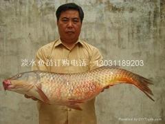 內蒙古鯉魚苗批發出售
