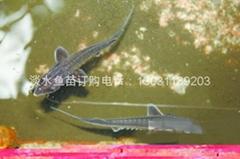北京中華鱘魚苗出售
