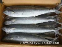 Frozen Spanish Mackerel Fish