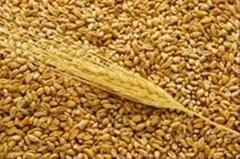 Feed wheat