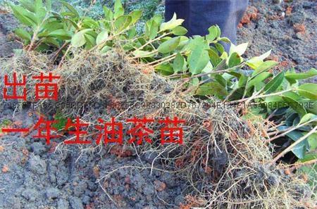 高产油茶苗 1