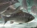 emulsifier-fish feed additive 2