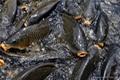 emulsifier-fish feed additive 3