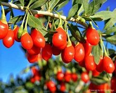 goji berry,wolfberry,medlar
