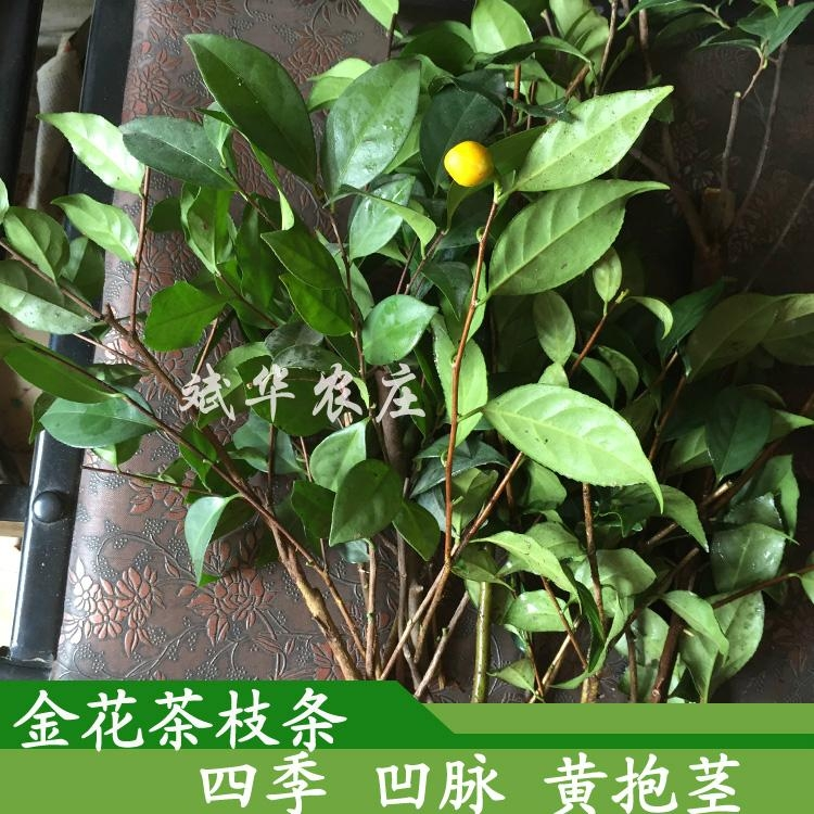 防普毛瓣四季凹脈黃抱莖金花茶枝條 茶花嫁接接穗 3