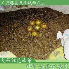 供應大果紅花油茶種子