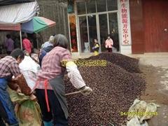 大量供應岑溪軟枝油茶種子