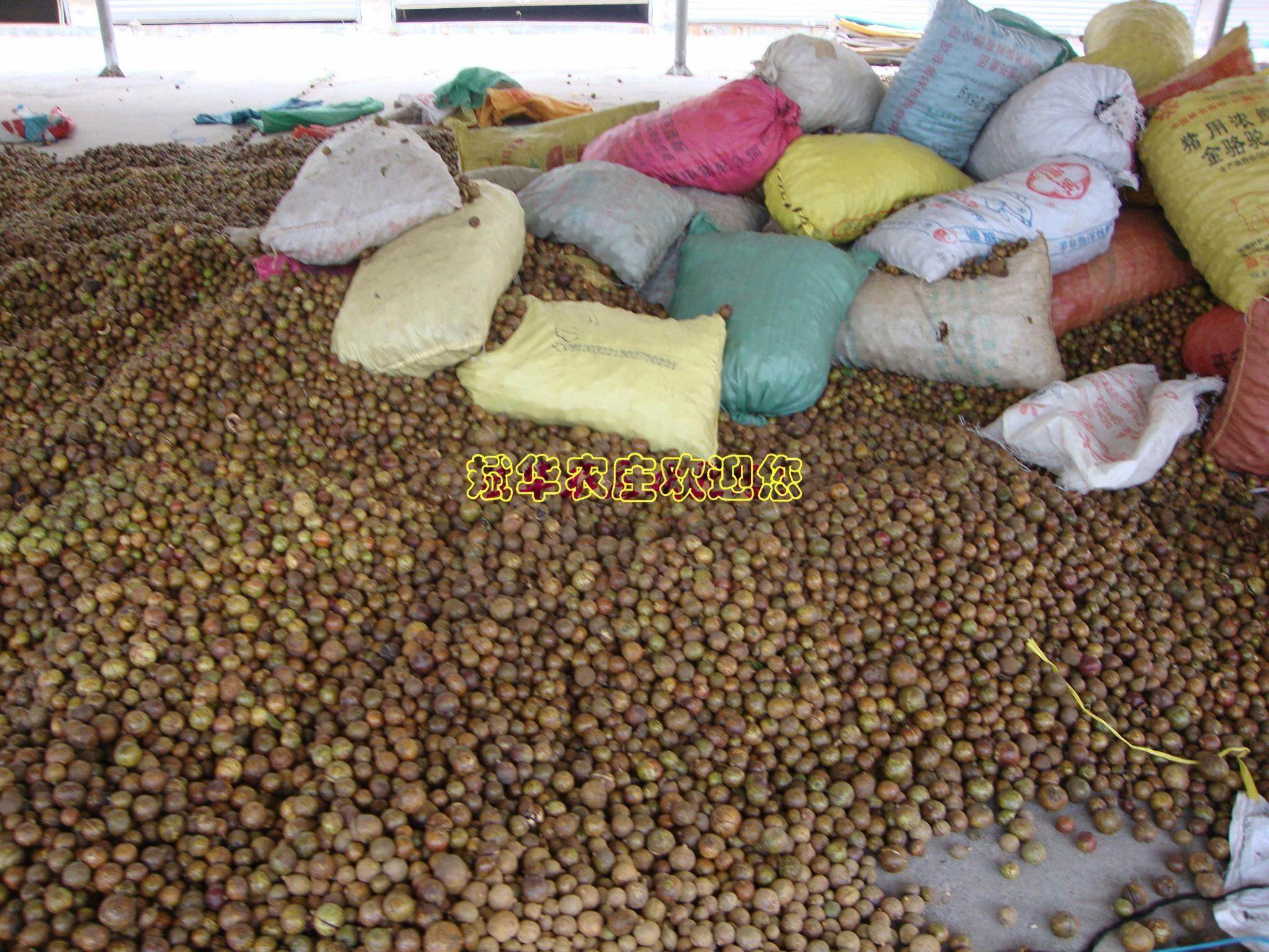 大量供应岑溪软枝油茶种子 3