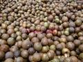 大量供应岑溪软枝油茶种子 5