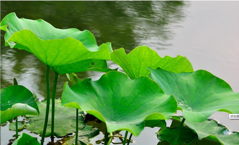 China supplier herb extract folium nelumbinis extract nuciferine lotus leaf p.e. 5