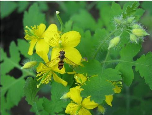 Plant Powder Chelerythrine Celandine Extract 3