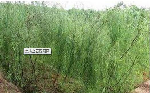 White Willow Bark Extract Salicin HPLC 10% 1