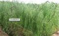 White Willow Bark Extract Salicin HPLC