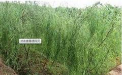 White Willow Bark Extract Salicin HPLC 10%