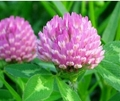 Wholesale and top quality red clover extract for antibiotic 2
