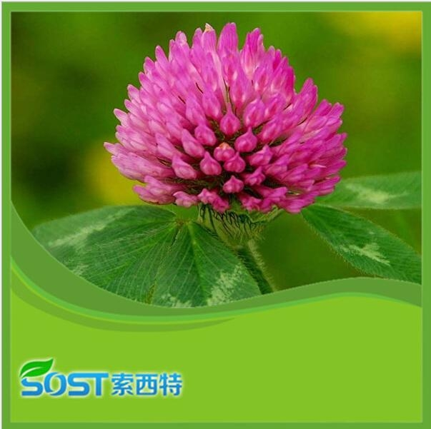 Wholesale and top quality red clover extract for antibiotic 1