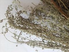 Celandine (Herba Chelidoni)