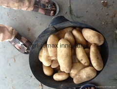 Fresh Potato, Small, Medium & Large Size, Round shape, Long Shape