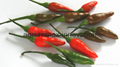 Fresh & Dried Birds Eye Chili for sale