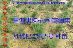 宁杞5号和福壮1号 红枸杞苗木 出售