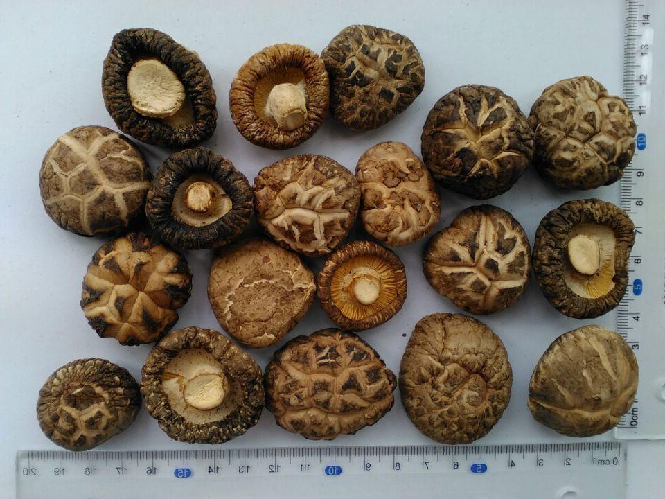 shiitake Mushroom 1