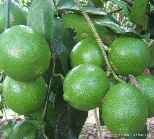 Fresh Lemon Fruit  1